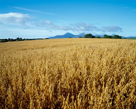 Stock Photo: 1889R-12049 Barley field, Mourne Mountains, Co Down, Ireland