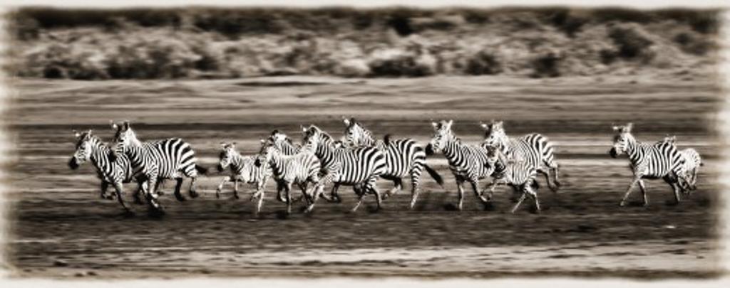 Running Zebras, Serengeti National Park, Tanzania, Africa : Stock Photo