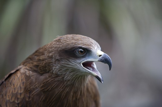 A Black Kite (Milvus migrans) : Stock Photo