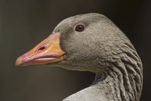 Stock Photo: 1889R-13463 Closeup of goose