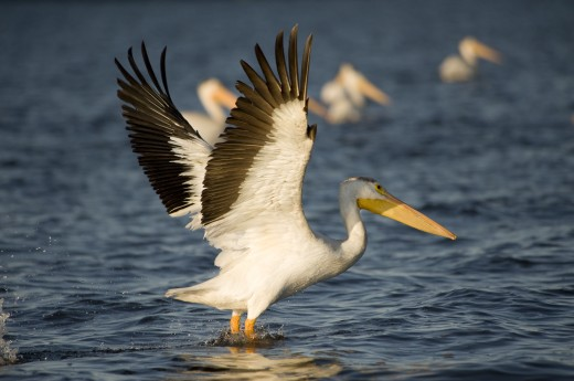 Stock Photo: 1889R-13844 American White Pelican (Pelecanus erythrorhynchos)