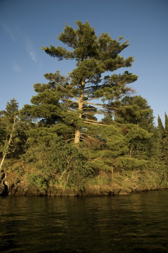 Lake of the Woods, Ontario, Canada; Forest along the shore of a lake : Stock Photo