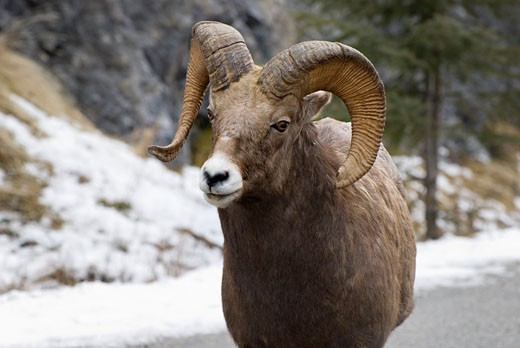 Stock Photo: 1889R-14622 Bighorn sheep (Ovis canadensis)
