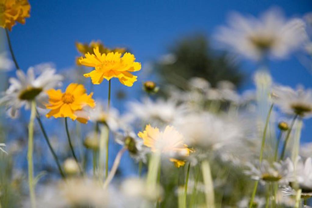 Stock Photo: 1889R-15923 Yellow flowers