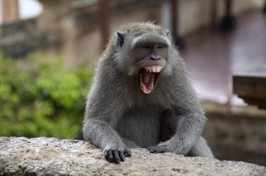 Bali, Indonesia; Monkey screaming : Stock Photo