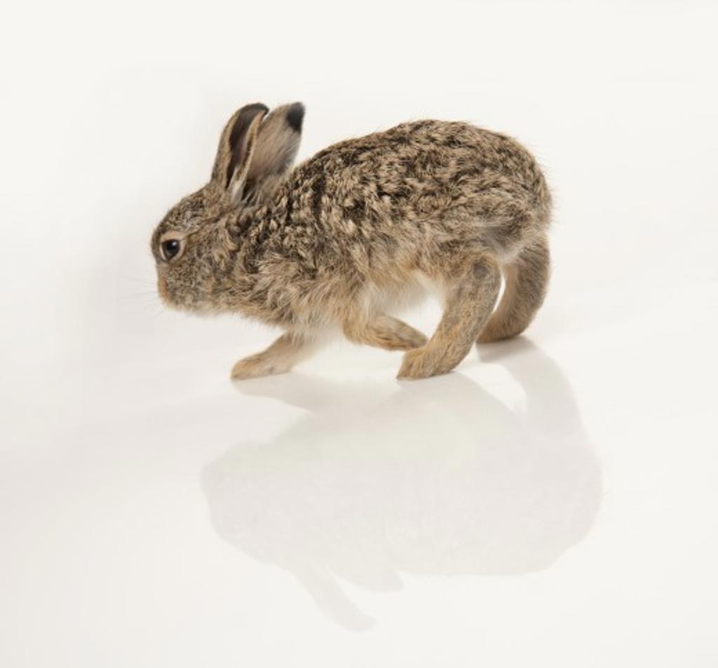 Baby rabbit : Stock Photo