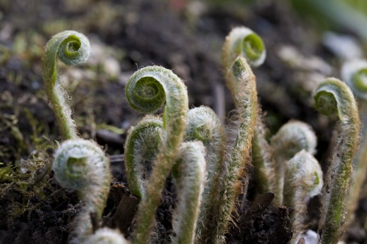 Stock Photo: 1889R-17091 Fiddlehead ferns sprouting