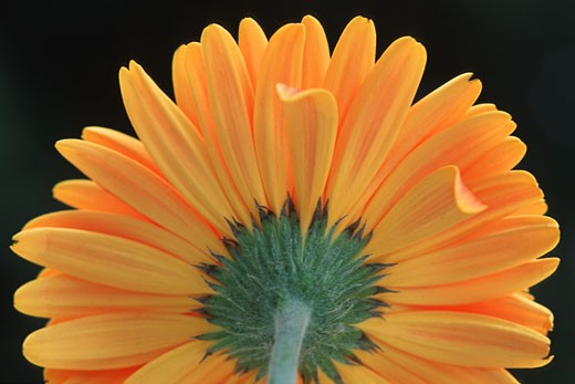 Stock Photo: 1889R-18306 Closeup of yellow flower