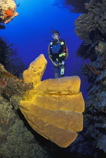 Scuba diver looking at large tube sponge : Stock Photo