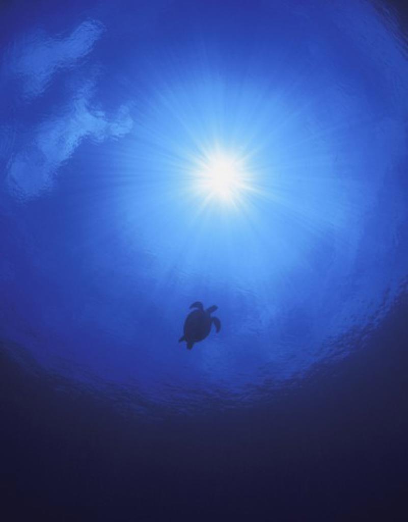 Stock Photo: 1889R-18903 Swimming sea turtle