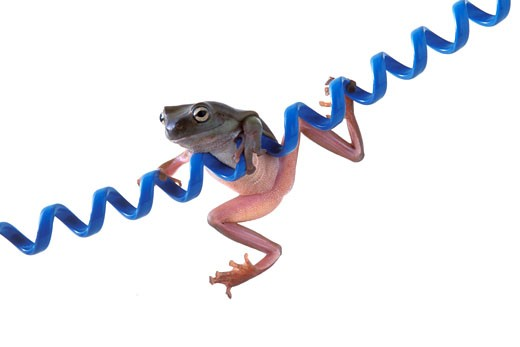 Frog hanging on blue cord : Stock Photo