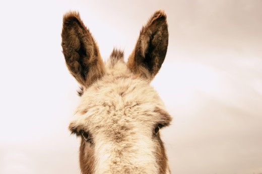 A pair of donkey's ears : Stock Photo