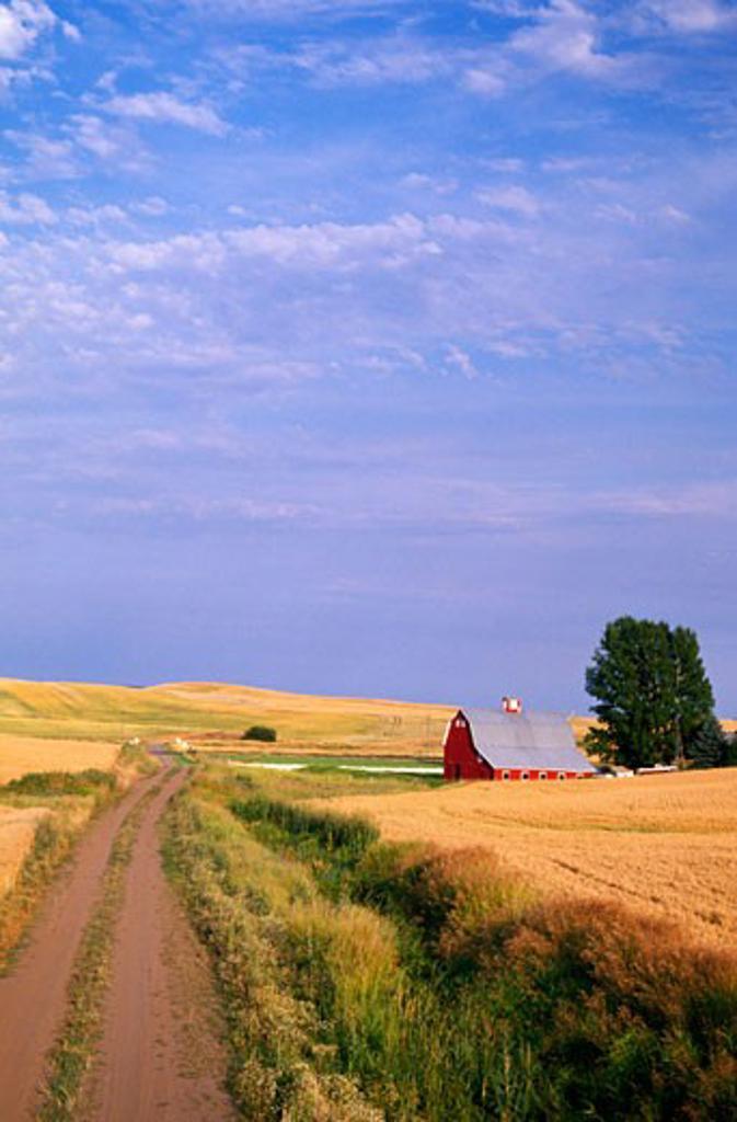 Dirt road through wheat field : Stock Photo