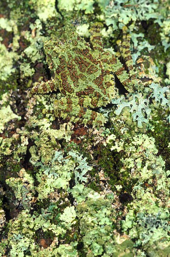 Camouflaged Vietnamese mossy tree frog : Stock Photo