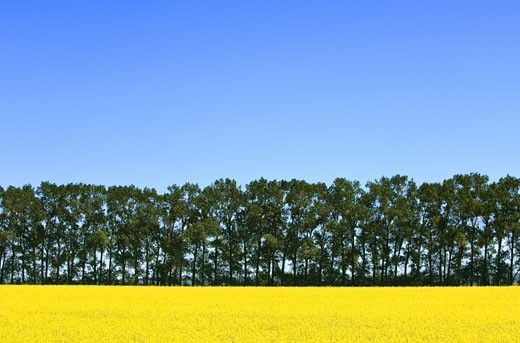 Canola and trees : Stock Photo