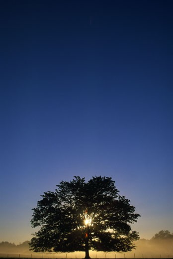 Stock Photo: 1889R-23631 Oak tree with starburst coming through