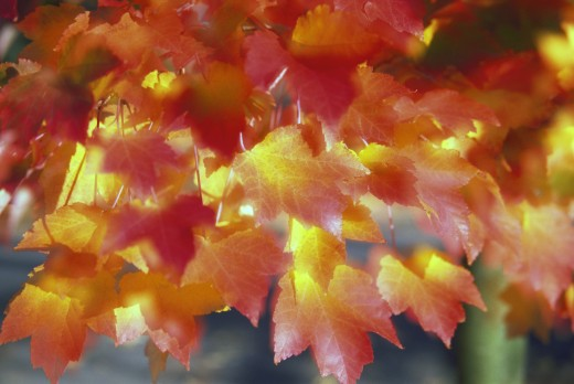 Stock Photo: 1889R-24312 Autumn color of Maple tree leaves