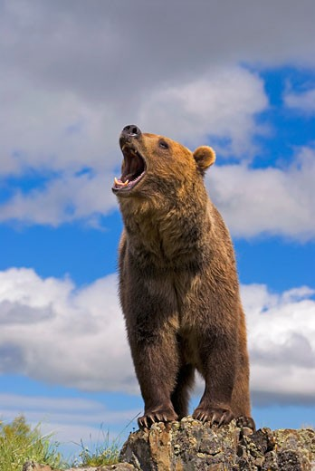 Stock Photo: 1889R-24611 Grizzly bear roaring