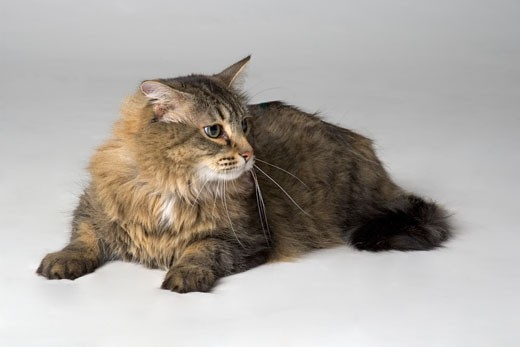 Portrait of long haired cat : Stock Photo