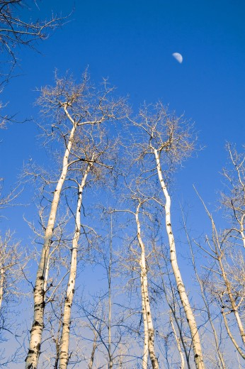 Trees and moon in winter, Chickakoo Lake Recreation Area, Alberta, Canada : Stock Photo