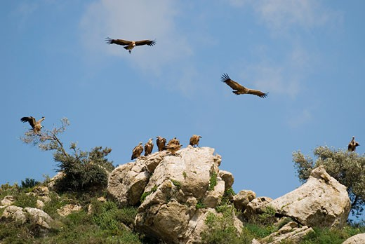 Vultures in Southern Spain   : Stock Photo