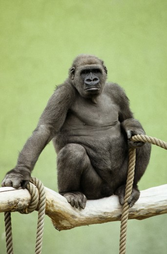 Gorilla with a rope : Stock Photo