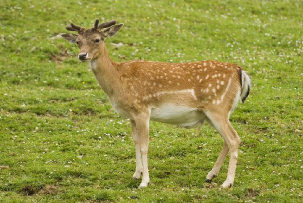 Stock Photo: 1889R-32257 Fallow deer