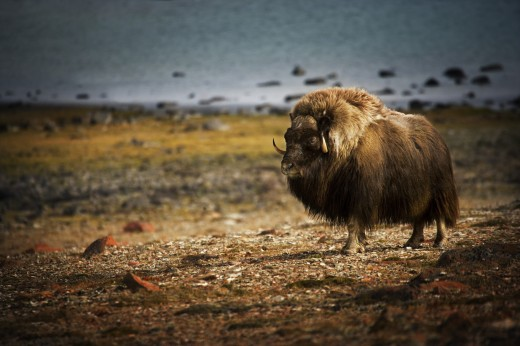 Muskox (Ovibos moschatus)in the Northwest Territories : Stock Photo