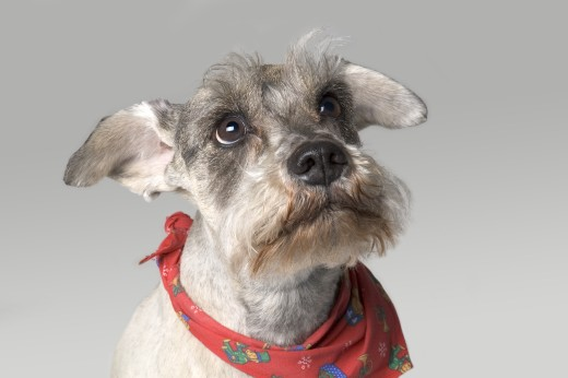 Stock Photo: 1889R-3396 Gray terrier with expressive face