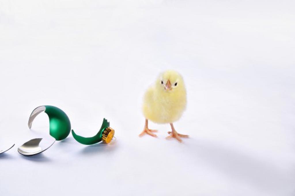 Chick beside broken Christmas ornament : Stock Photo