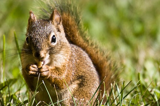 Squirrel eating a nut : Stock Photo