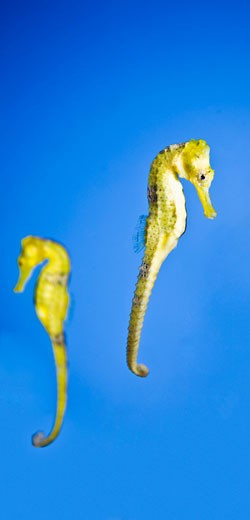 Stock Photo: 1889R-34913 Sea horses