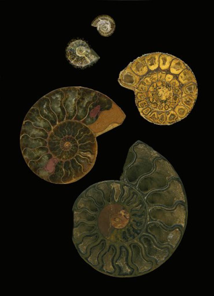 Fossilized sea and marine shells or nautilus : Stock Photo