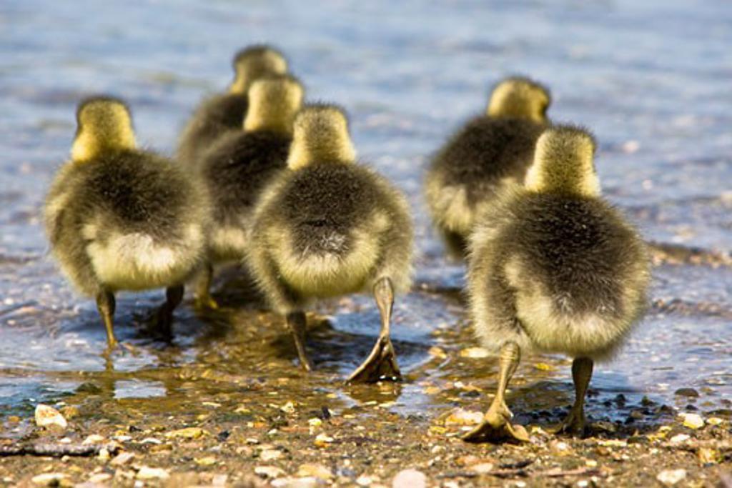 Stock Photo: 1889R-37004 Goslings