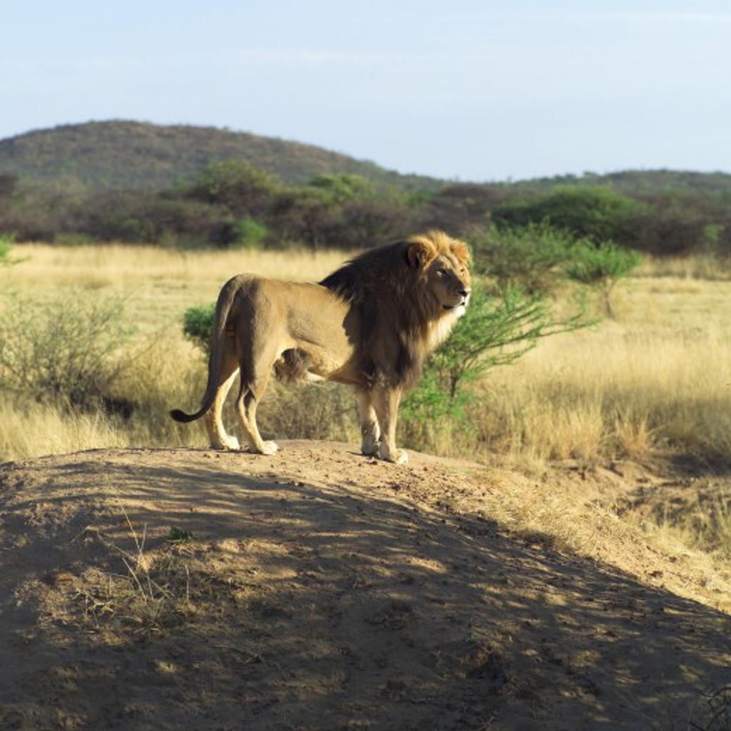 Lion, Namibia, Africa : Stock Photo