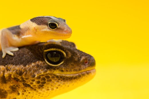 Stock Photo: 1889R-37824 Adult And Baby Gecko