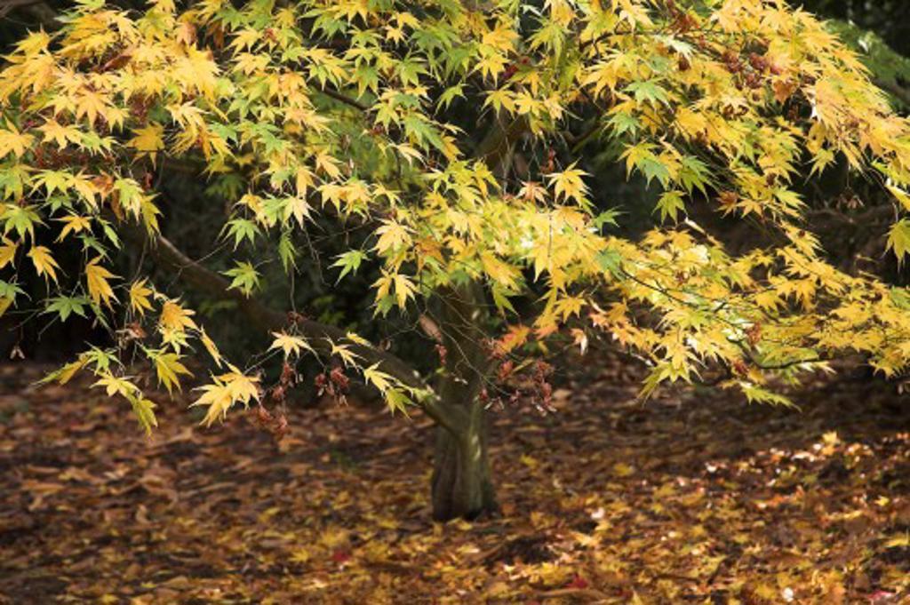 Stock Photo: 1889R-38016 Golden Acer