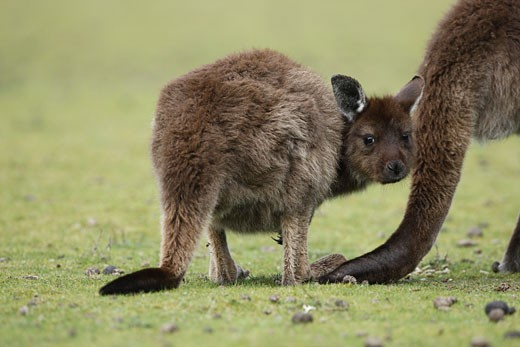 Eastern Grey Kangaroo, Marcropus cinereus, Kangaroo Island, Australia : Stock Photo