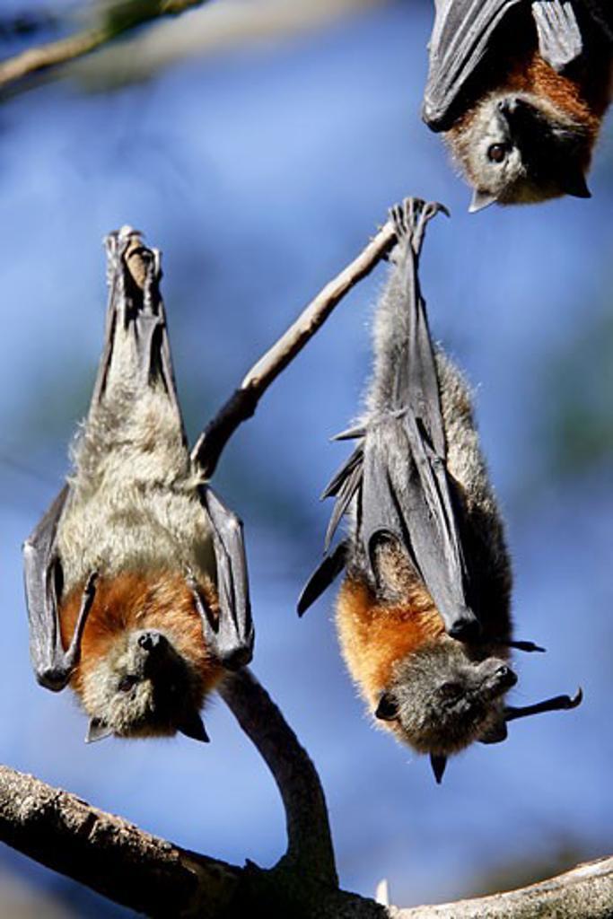 Grey-headed Flying Fox fruitbats, Pteropus poliocephalus, Australia : Stock Photo