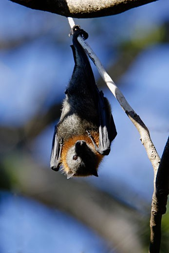 Grey Headed Flying Fox fruitbat, Pteropus poliocephalus, South Australia   : Stock Photo