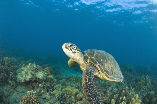 Green Sea Turtle, Turtle Cleaning Station, South Maui, Hawaii, USA : Stock Photo