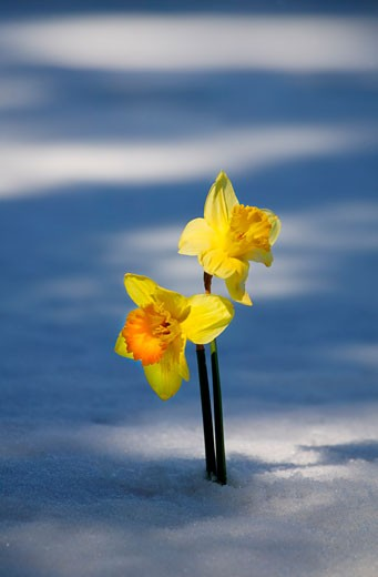 Stock Photo: 1889R-3976 Two daffodils in snow