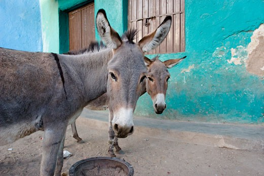 Donkeys, Harar, Ethiopia, Africa : Stock Photo