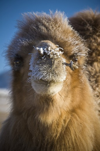 Stock Photo: 1889R-39892 Bactrian Camel (Camelus bactrianus), Mongolia