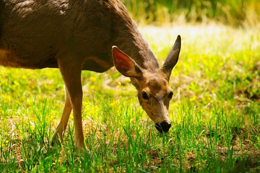 Deer grazing : Stock Photo