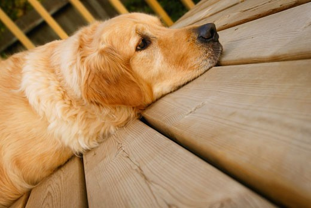 Stock Photo: 1889R-4653 Dog resting