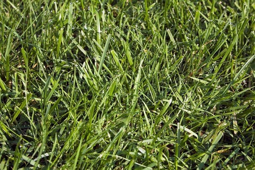 Stock Photo: 1889R-46946 Kentucky Bluegrass lawn, Laval, Quebec, Canada