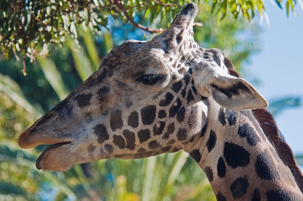 A Masai giraffe, Los Angeles Zoo, California, USA : Stock Photo