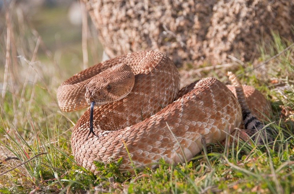 A red_diamond rattlesnake Crotalus ruber, Riverside County, California, USA : Stock Photo