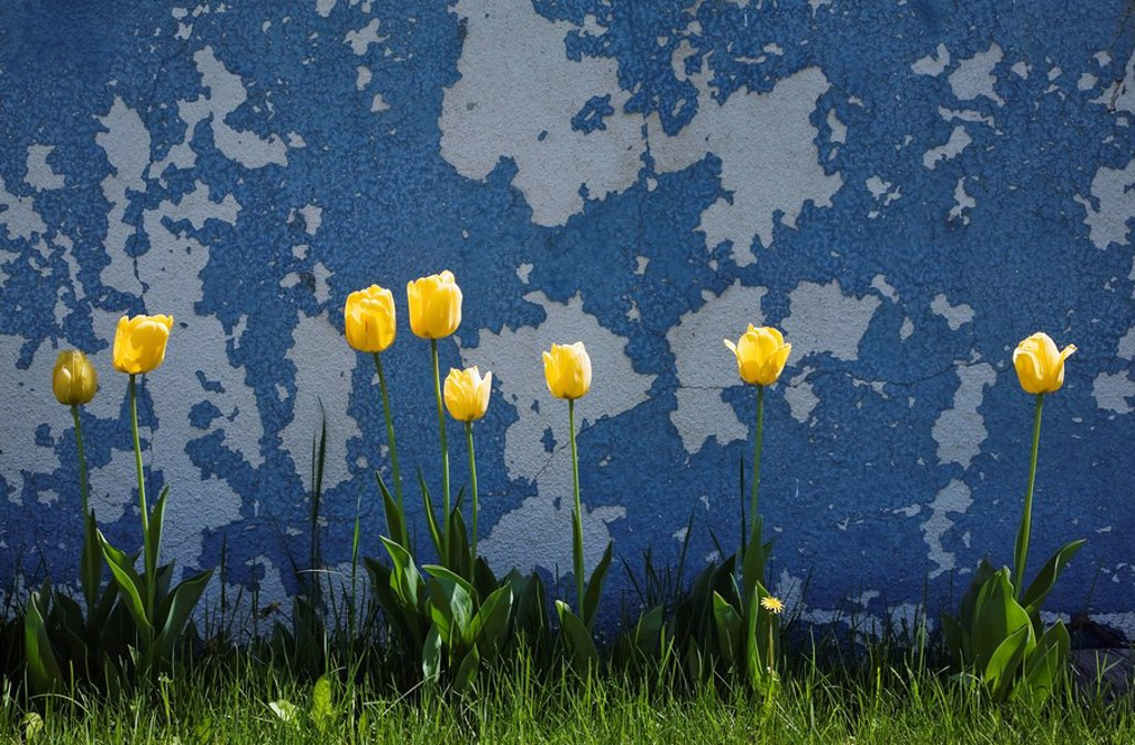 Laval, Quebec, Canada, Yellow tulips growing in the grass next to an old blue painted cement wall : Stock Photo
